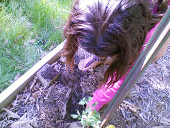 child plants tomato in garden bed | coyotehill.org