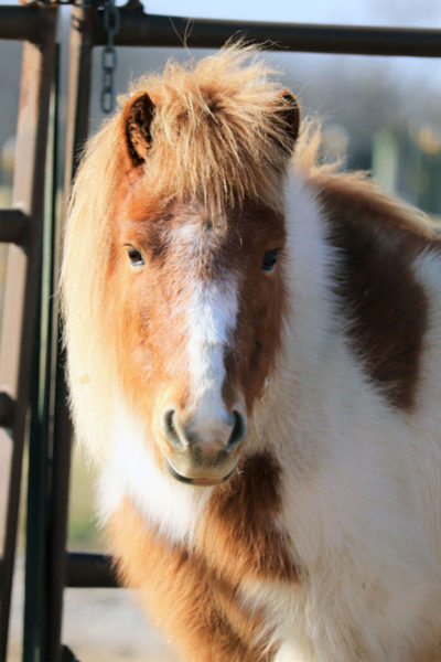 miniature horse with winter coat | coyotehill.org