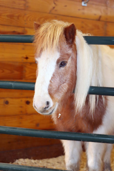 miniature horse in Overton Arena stall | coyotehill.org